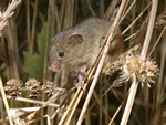 Rat des moissons (Micromys minutus)